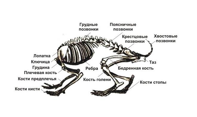 Соединенные между собой грудные кости и лопатки