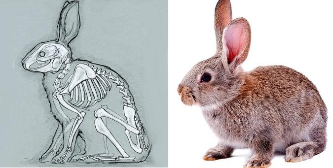 строение кролика картинках так же, если