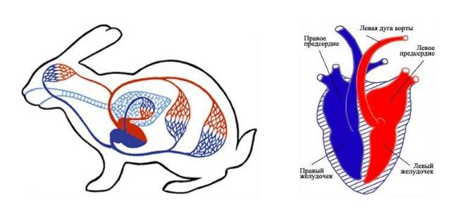 В организме кролика до 280 мл крови, сердце четырехкамерное весом 6,5 гр