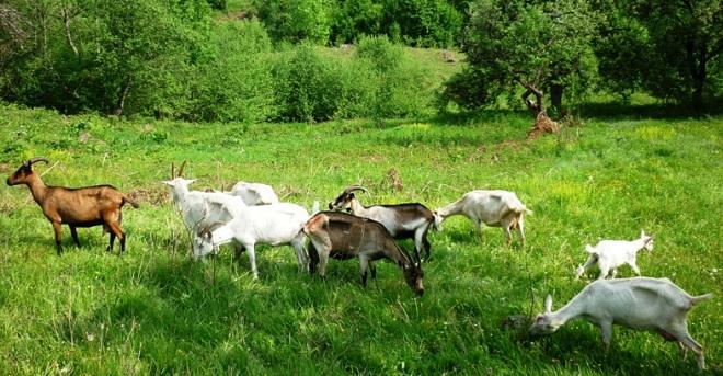 При содержании коз и козлов вместе сложно отследить количество случек