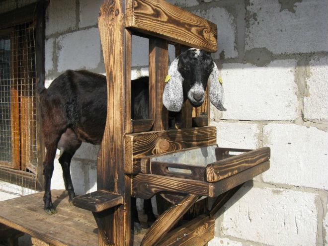 Станок для дойки коз облегчает процесс доения