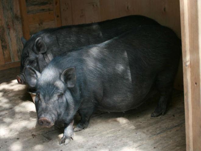 Вислобрюхим необходим свинарник с выгулом