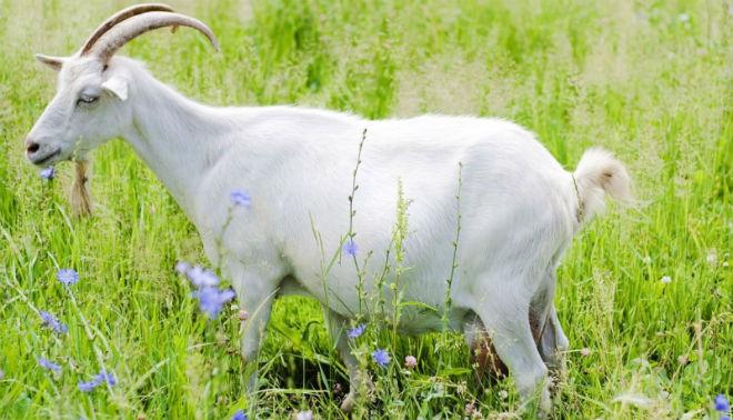 Выкидыш может быть даже у здоровой козы