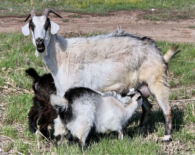 После выкидыша коза ещё может дать здоровый приплод