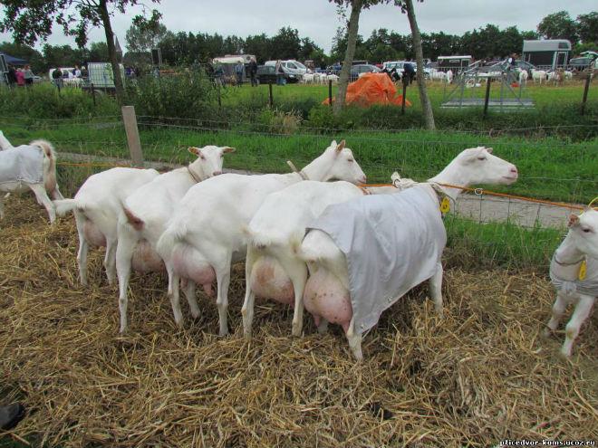 Чистопородная зааненская коза стоит очень дорого