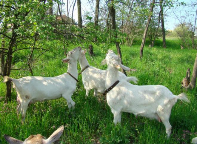 Зааненским козам необходимо сбалансированное питание