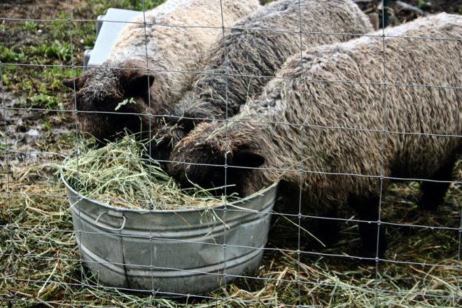 Питание ангорских коз