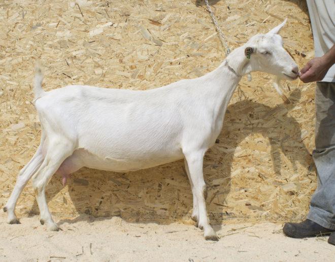 Беременная коза требует особого питания