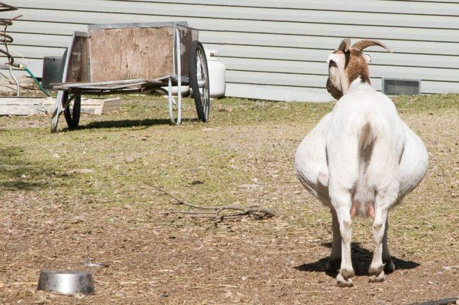 Беременность козы длится пять месяцев