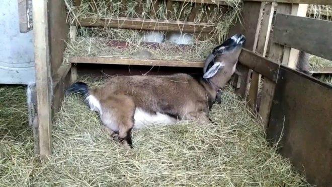 Признаки беременности козы