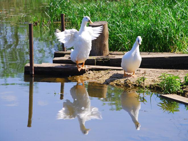 Пруд для гусей