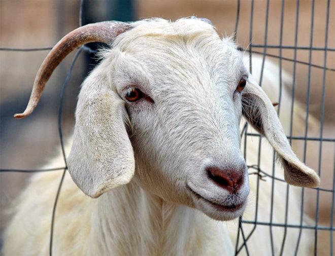 Правильное содержание коз