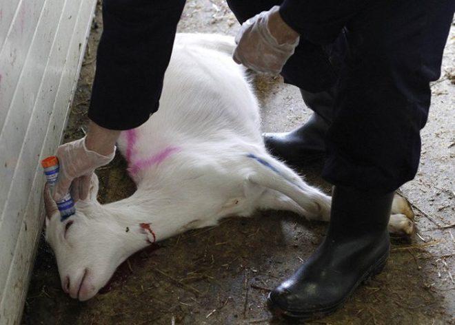 Профилактика заболевания козы