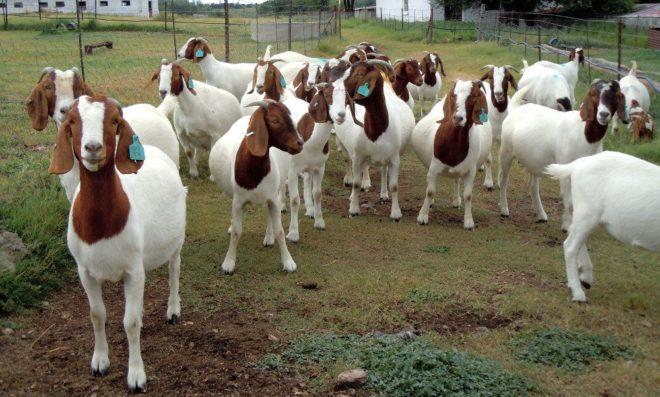 Бурские козы послушные
