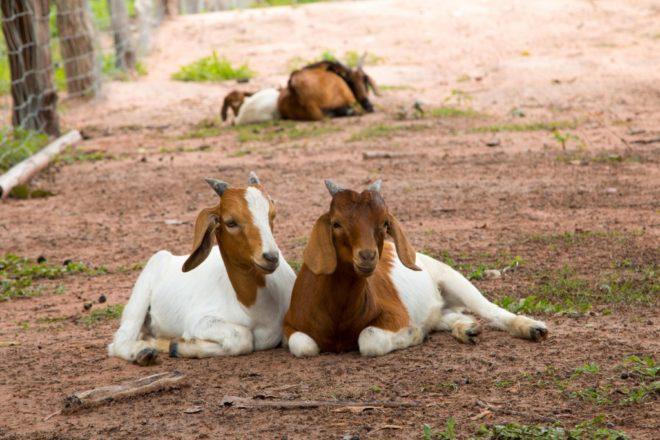 Случка бурских коз осенью