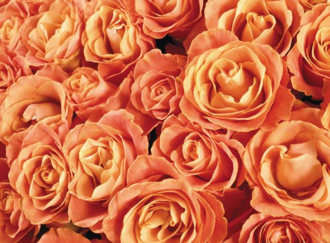 Чайная роза из Японии