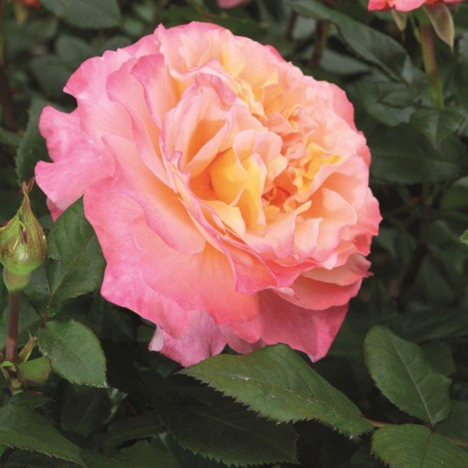 Яркий представитель чайно-гибридной розы