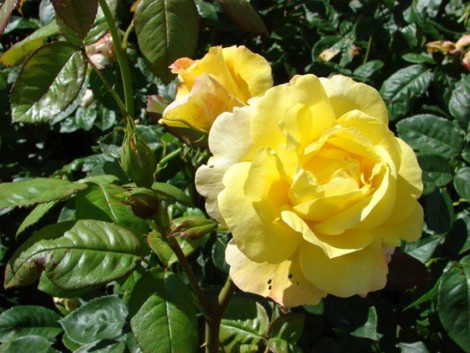 Кремово-желтый «Чайнатаун»