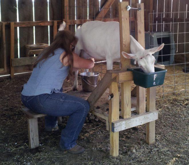 Перед окотом козу нужно меньше доить
