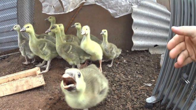 Для чего выращивать гусей
