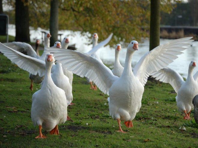 Взрослые эмденские гуси