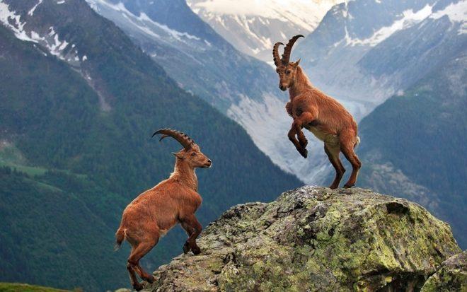 Битва за самку у горных козлов