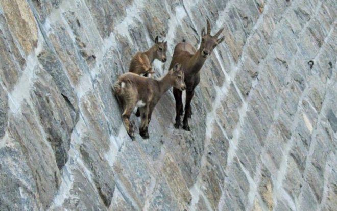 Эти животные легко удерживаются на скалах