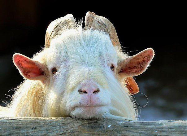 Авитаминоз мешает репродукции коз