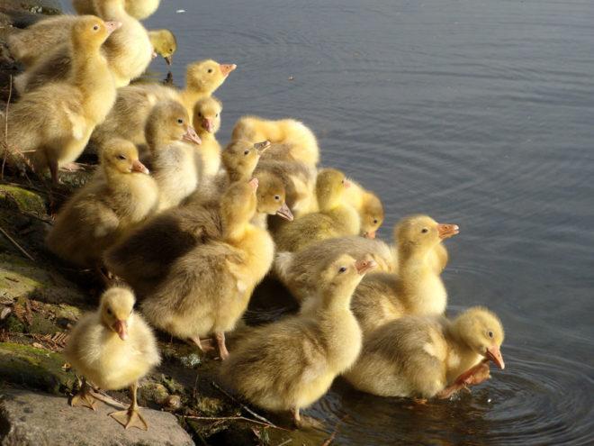 Рацион птенцов нужно менять