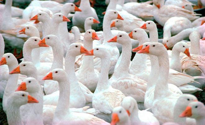 Итальянских гусей разводят из-за печени