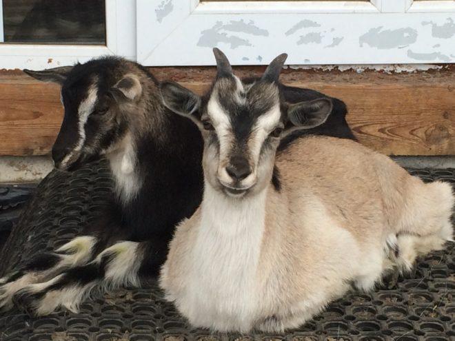 Предписания помогут козе выжить