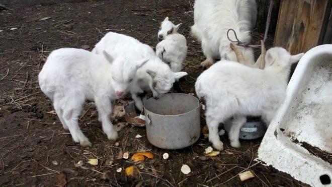 Отлучение козлят от матери после первой кормежки