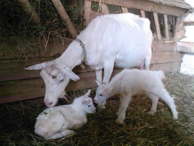Рядом с матерью козлята развиваются естественно
