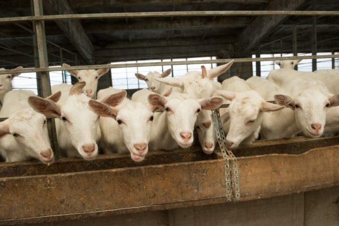 Козья ферма приносит доход с продаж