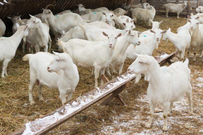 Козья ферма приносит стабильный доход