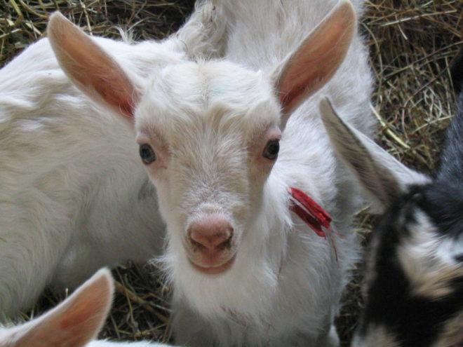 Разведение коз - бизнес с легким стартом
