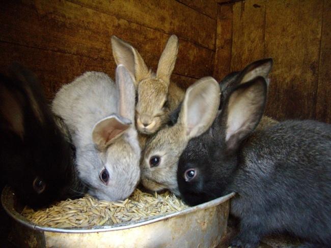 Кроликов-подростков не нужно ограничивать в питании