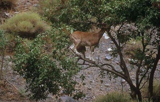 Мархур на дереве