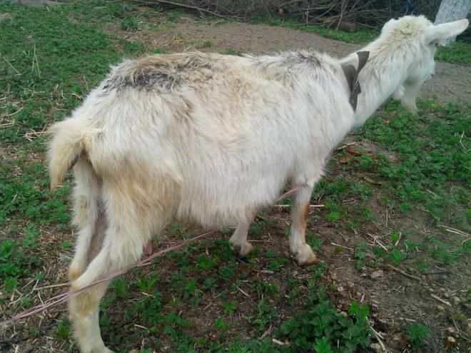 Коза сильно худеет при мониезиозе