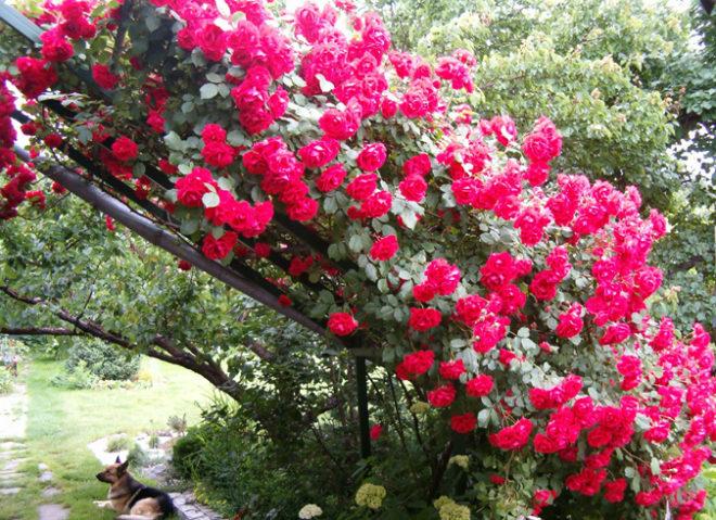 Один из видов плетистой розы