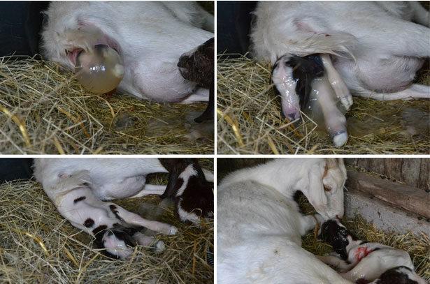 Процесс окота козы