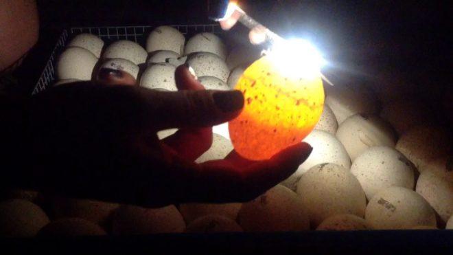 Проверка гусиных яиц дома
