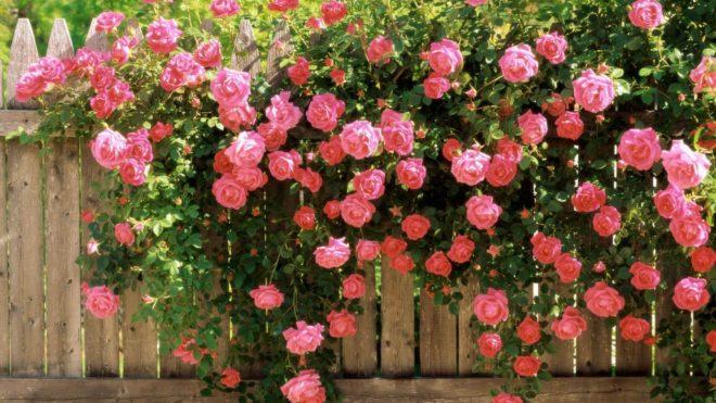 Миниатюрные розы «Пур тои»