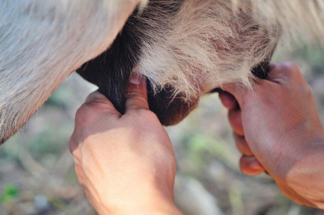Кормление козлят молоком после рождения
