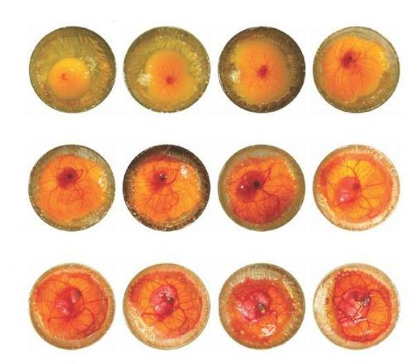 Развитие эмбриона в гусином яйце