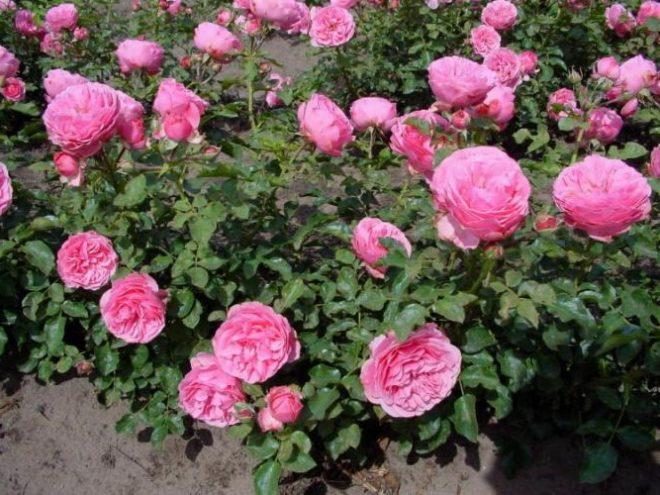 Куст с розами «Леонардо да Винчи»