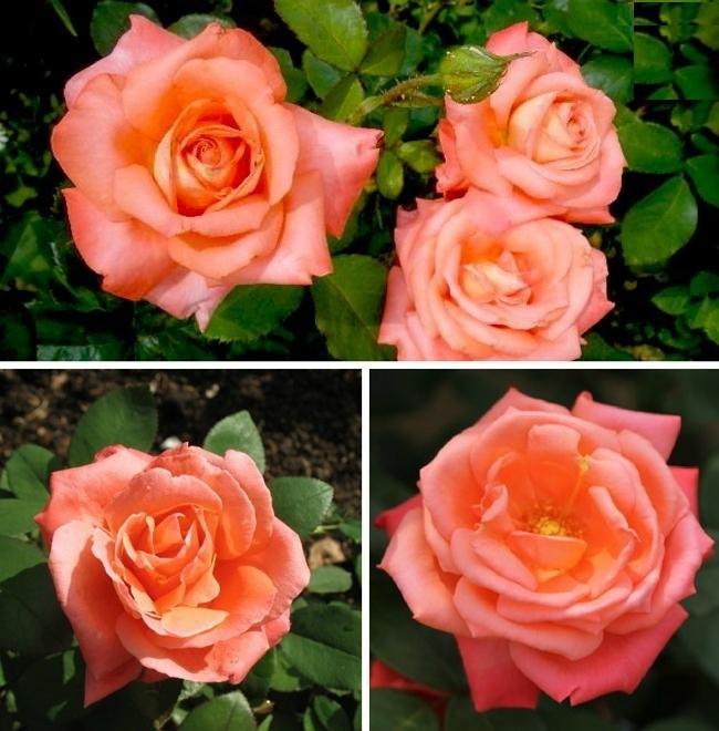 Розы сорта «Свит Магик»