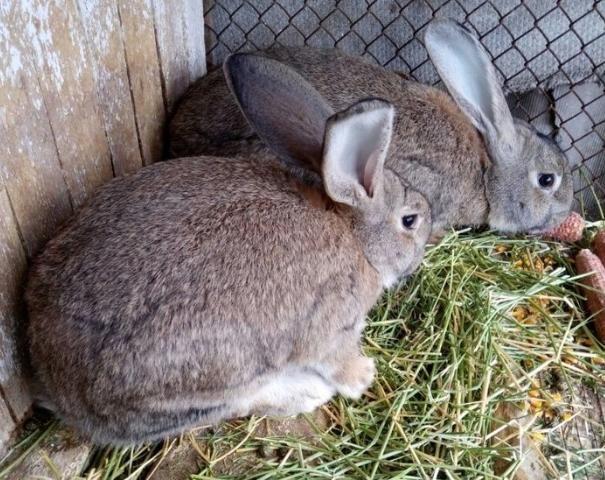 Качественное сено для кролика