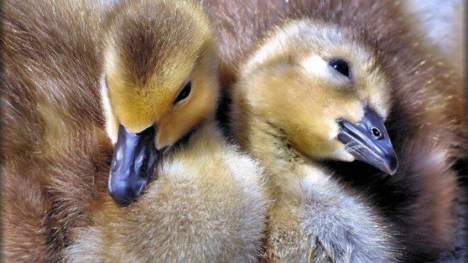 Слабых птенцов нужно изолировать