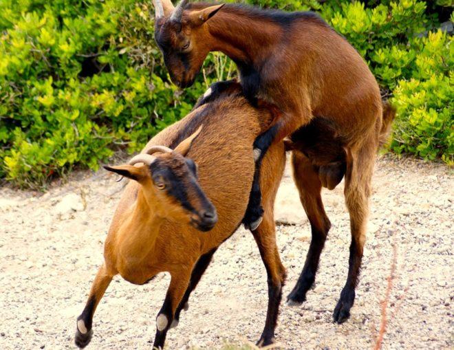 Случка козы с козлом